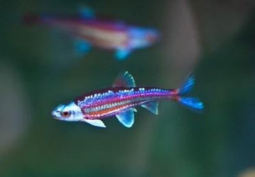 Regenbogenelritze notropis chrosomus 2 50 for Teichfische versand